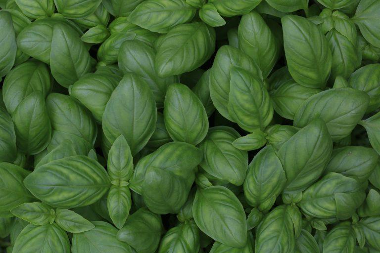 Capsule Huile Essentielle – Le Basilic Tropical